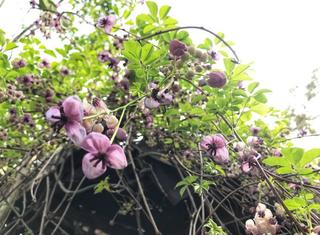 アケビの花.PNG