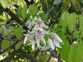 ムベの花.JPG